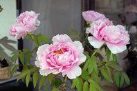 牡丹の花が今年も見事に咲きました。「肖像画の益子」
